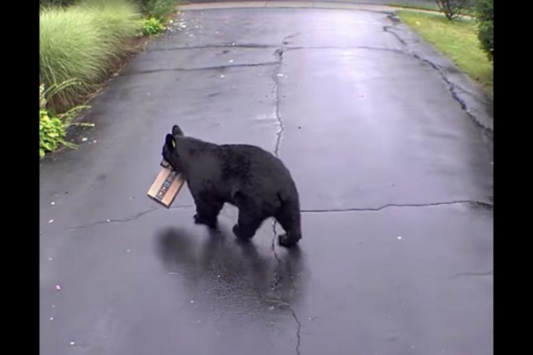 Black Bear Porch Pirate Steals Amazon Package