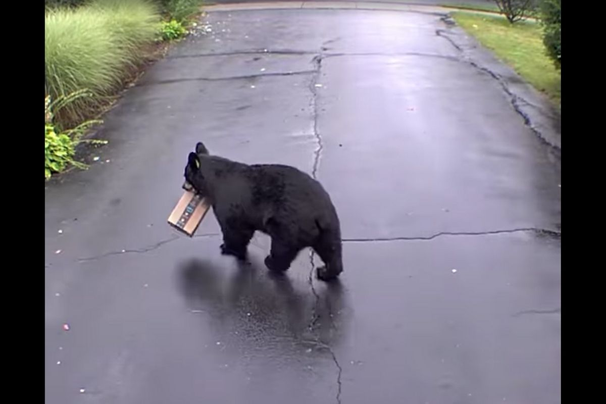 Black bear porch pirate